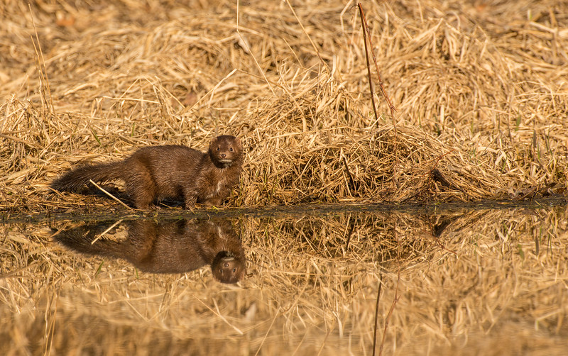 Alert Mink and reflections