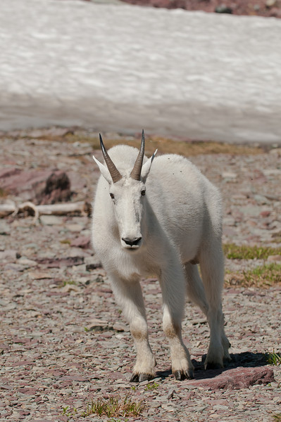 MGT-12032: Mountain Goat (Oreamnos americanus)