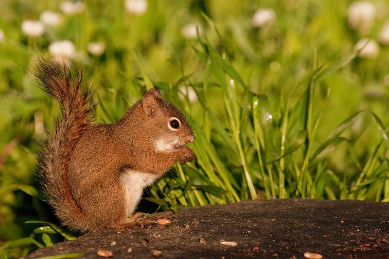 MRD_10011: Feeding Red Squirrel (Tamiasciurs hudsonicus)