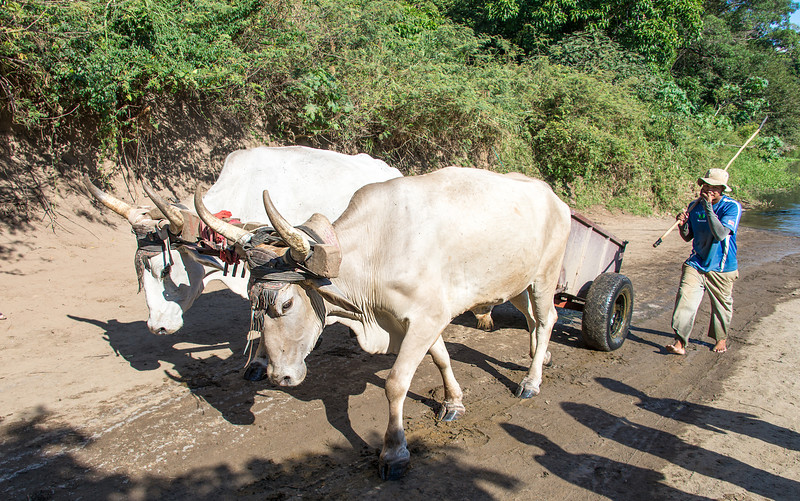 Sandman moving ox cart to loading zone - Guanacaste, Costa Rica - December 2014