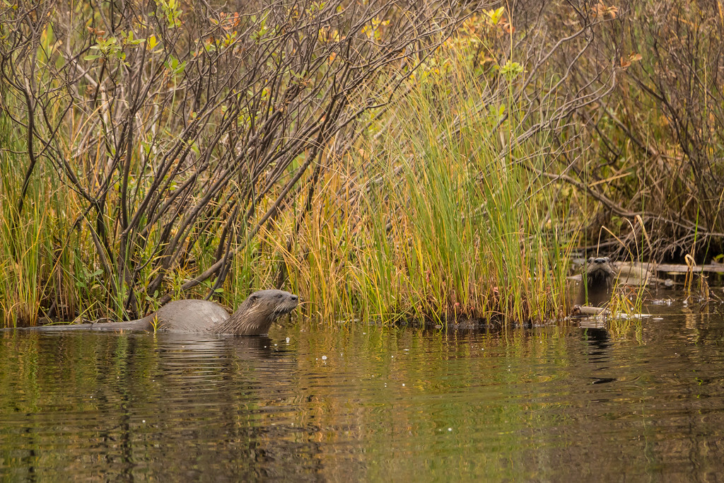 """OTTERS 01456<br /> <br /> """"Swamp River Otters""""<br /> <br /> Grand Portage State Forest, MN"""