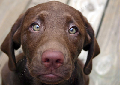 Braxton as a puppy - what's not to love?