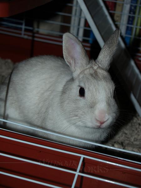 Bugsy-- Trudy's dwarf rabbit