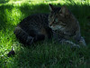 """""""Shy Girl"""", our cat"""