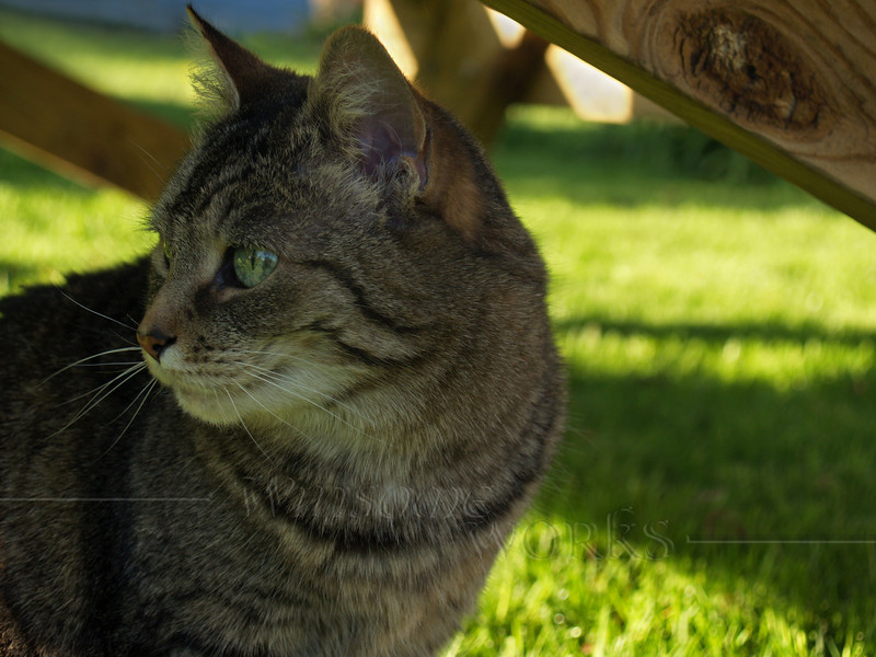 """Shy Girl"", our tabby cat, in backyard"