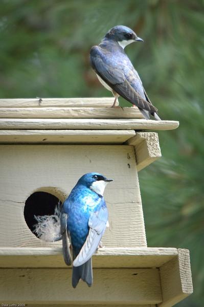 Tree Swallows Nesting