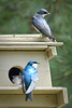 Tree Swallows Nesting