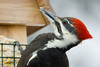 Pileated Profile-5429