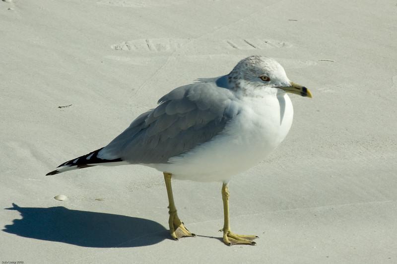 Ring Billed Gull-5815