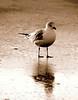 Gull on the Beach (sepia)