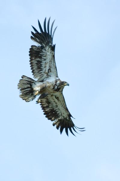Soaring Young Golden Eagle