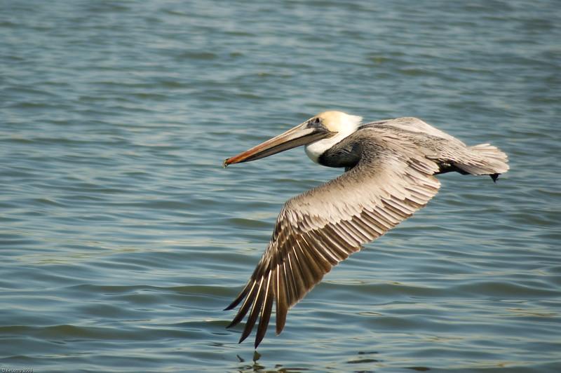 Brown Pelican-5802