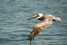 Brown Pelican-5802