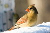 Momma Cardinal-5682