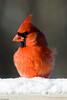 Cardinal in Snow-5686