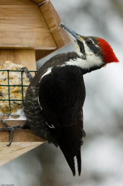 Pileated Woodpecker-5431