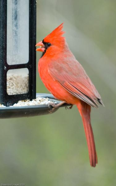 Cardinal on the Feeder
