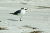 Franklin's Gull-5816