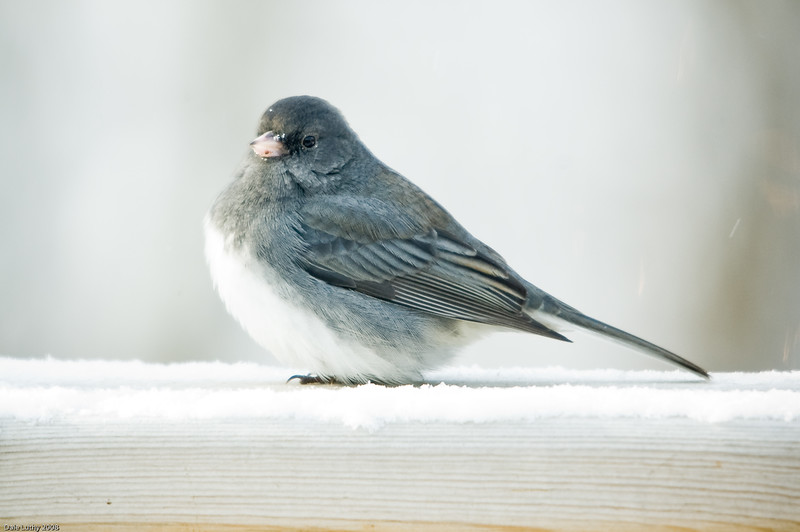 Dark-Eyed Junco-5587