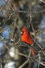 Cardinal on the Roost_