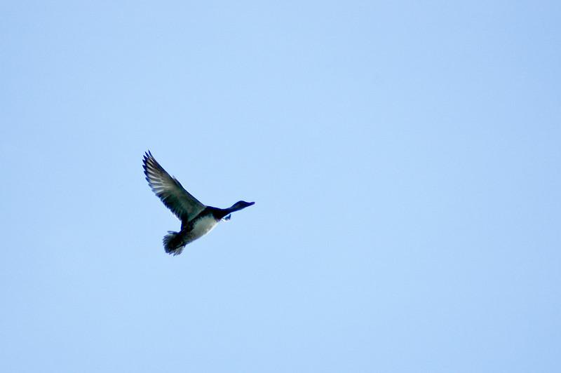 Duck in Flight-0057