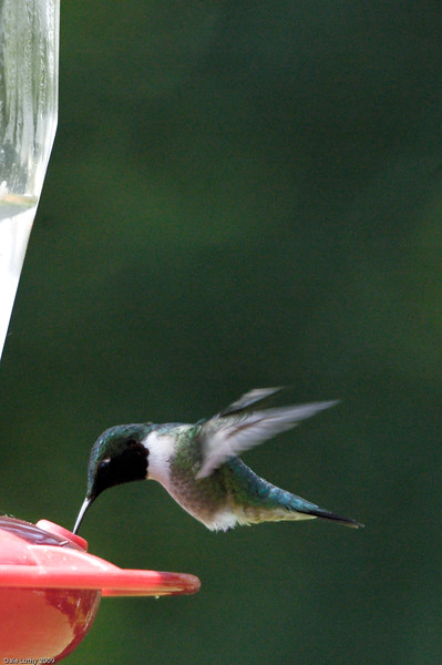 Hummingbird at the Feeder-6541