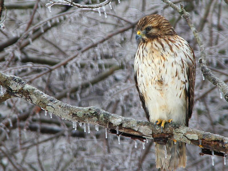 Hawk in Ice Storm