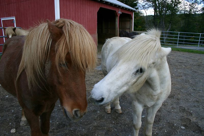Somi and Landi in the paddock right after the trip home from the Icelandics on Ice tour where Landi decided to come home with us.