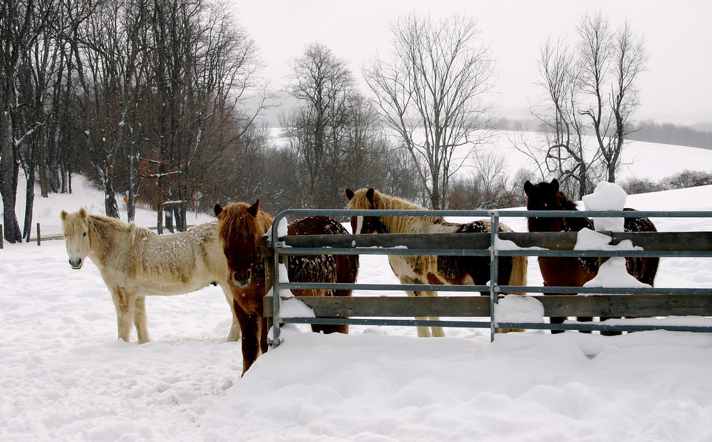 "The first real snow of the winter of 2003-04 and we had 18"".  These are our four riding horses, all raised in Iceland and used to this stuff."