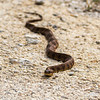 Cottonmouth Mocassin