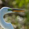 Great Egret (male)