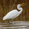 Great Egret with a snack.