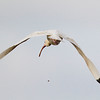 White Ibis on a bombing mission.