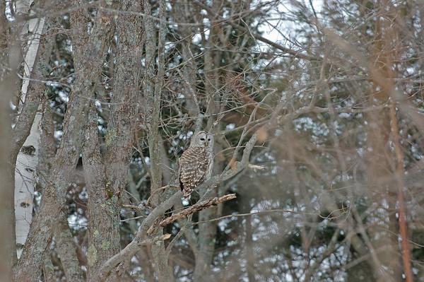 Owl - NH Dec 2005