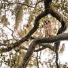 OwlStillSilver-17