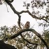 OwlStillSilver-8