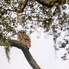 OwlStillSilver-9