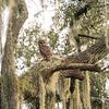 OwlStillSilver-3