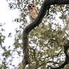 OwlStillSilver-11