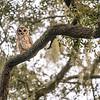 OwlStillSilver-15