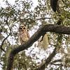 OwlStillSilver-13