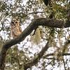 OwlStillSilver-14
