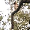 OwlStillSilver-10