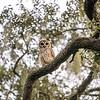 OwlStillSilver-12