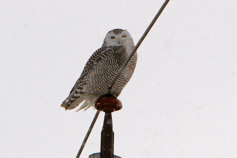 Owl Batavia_01 19 14_3674_edited-1