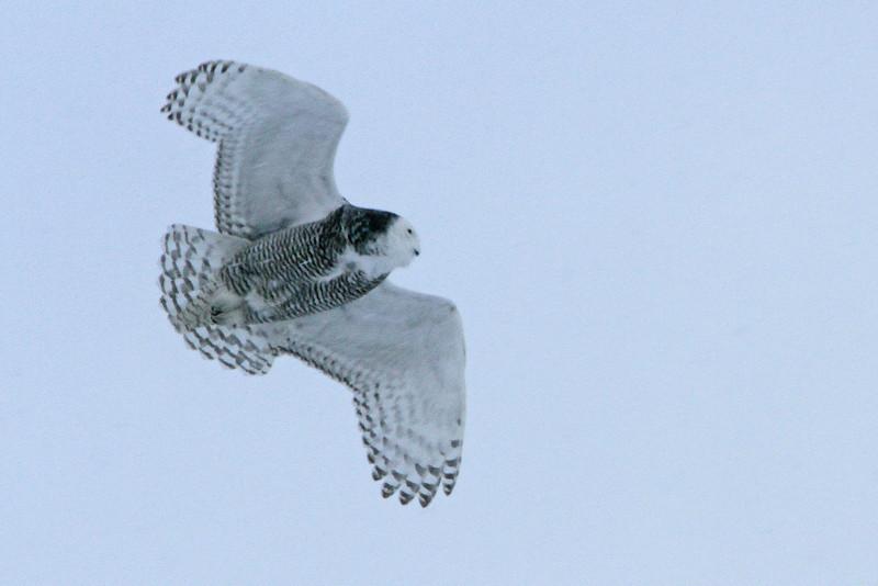Owl Batavia_01 19 14_3558_edited-1