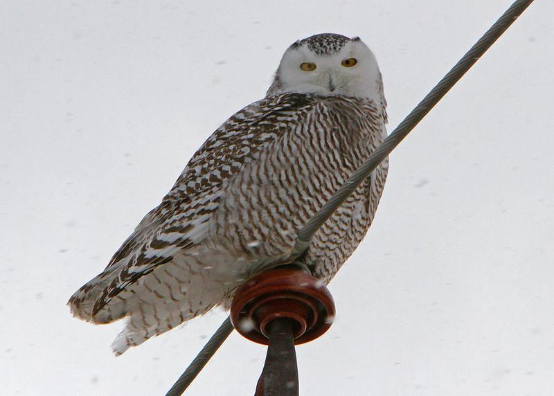 Owl Batavia_01 19 14_3748_edited-1