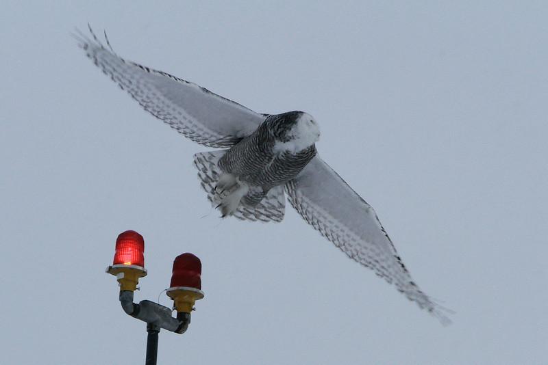 Owl Batavia_01 19 14_3554_edited-1