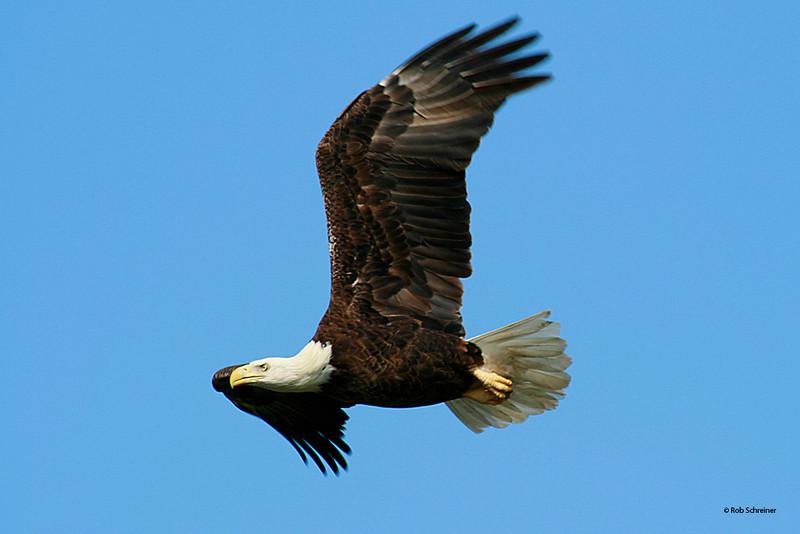 eagle, Punta Gorda, FL 12/07
