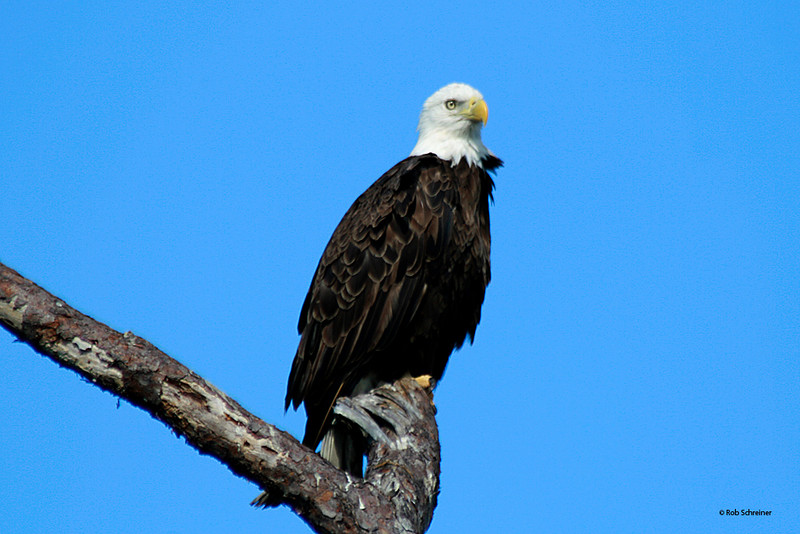 Bald eagle in Punta Gorda, FL 12/8/07